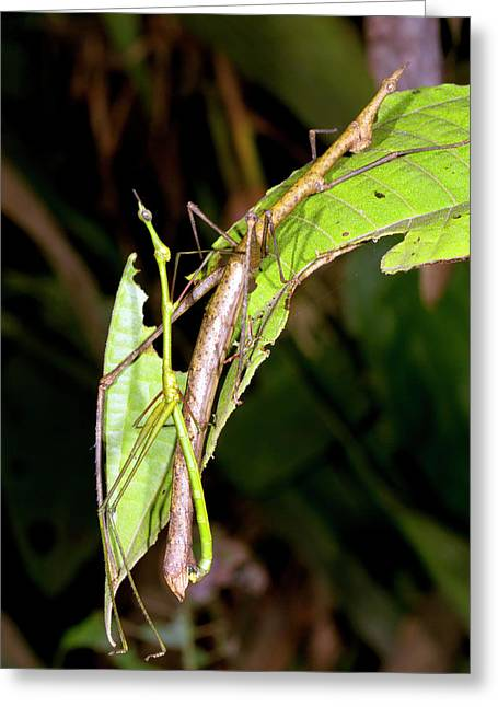 Stick Grasshoppers Mating Greeting Card