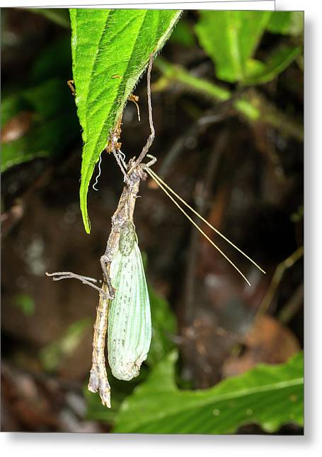 Stick Insect Ecdysis Greeting Card