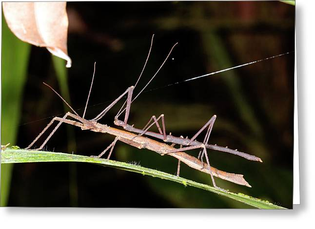 Stick Insects Mating Greeting Card