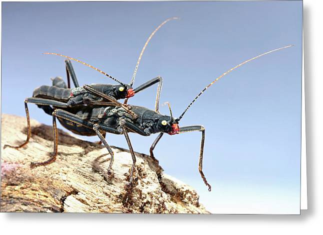 Stick Insects Mating Greeting Card by Tomasz Litwin