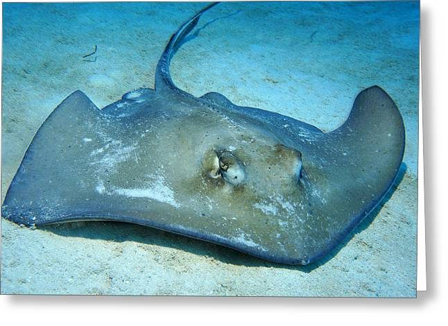 Stingray Greeting Card by Aaron Whittemore