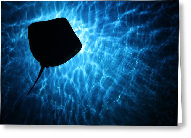 Greeting Card featuring the photograph Stingray Silhouette by Donna Corless