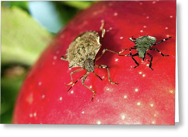Stink Bug Adult And Nymph Greeting Card by Stephen Ausmus/us Department Of Agriculture