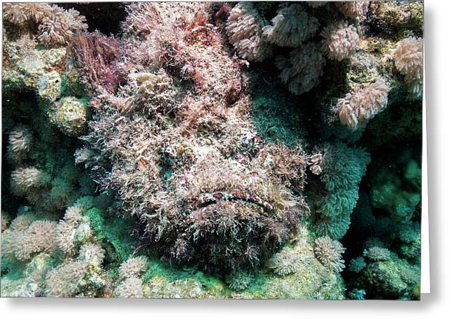 Stonefish Camouflaged On Corals Greeting Card by Georgette Douwma