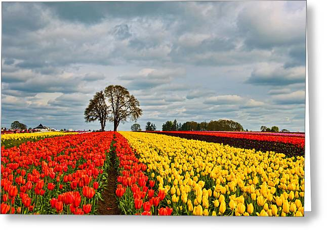 Storm Over Wooden Shoe Tulip Farm Greeting Card by Peter Dang