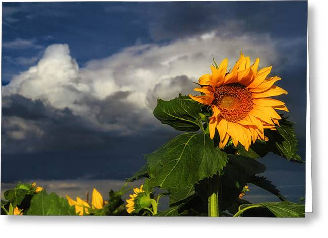Stormy Sunflower Greeting Card