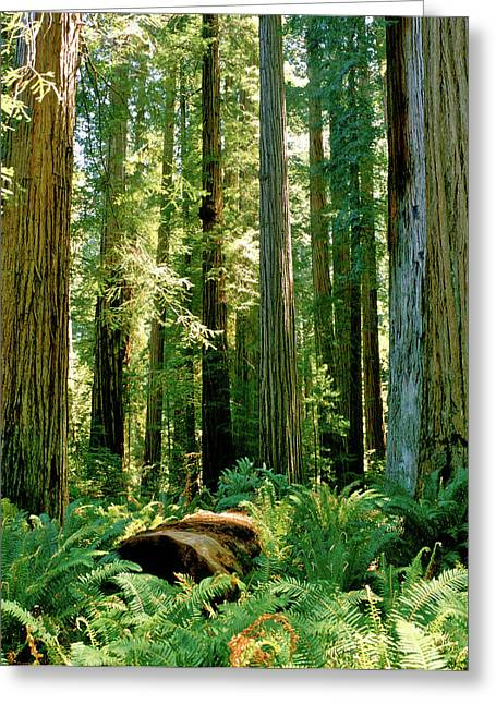 Stout Grove Coastal Redwoods Greeting Card by Ed  Riche