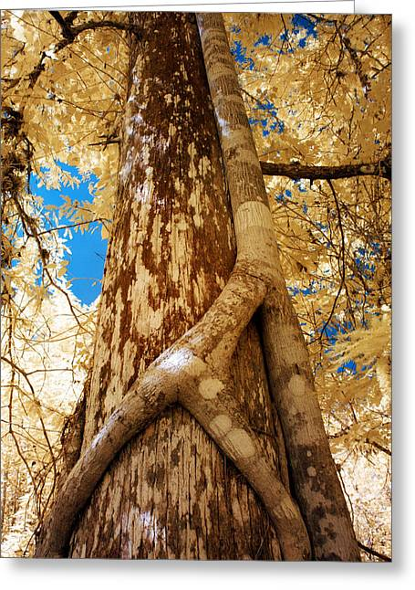 Strangler Fig Greeting Card by Bob Pomeroy