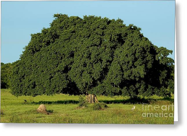Strangler Fig Greeting Card by Gregory G. Dimijian, M.D.