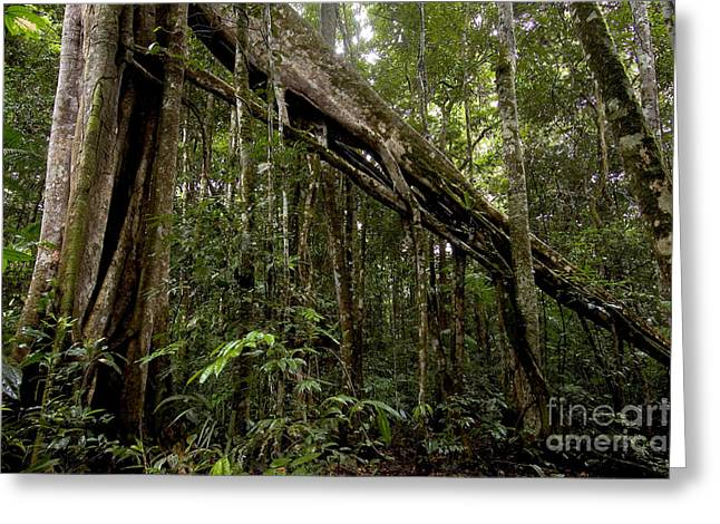 Strangler Fig In Amazon Rainforest Greeting Card by Gregory G. Dimijian, M.D.
