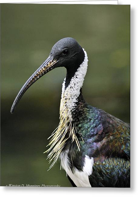 Straw-necked Ibis Greeting Card