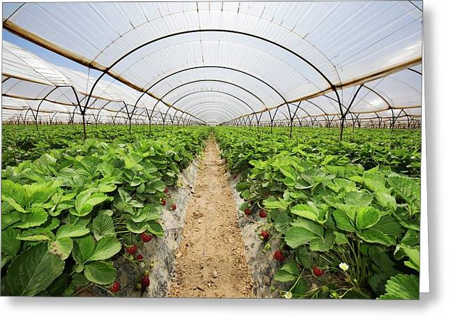 Strawberries Growing In Polytunnels Greeting Card