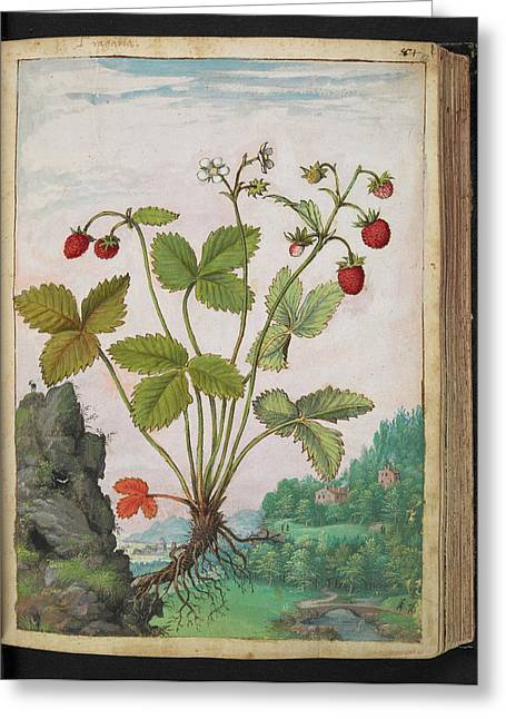 Strawberry (fragaria Sp.) Greeting Card