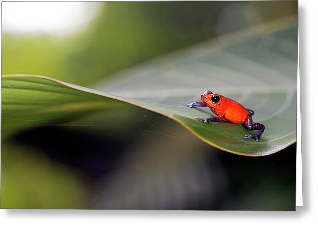 Strawberry Poison Frog Greeting Card by Nicolas Reusens
