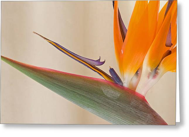 Strelitzia In Bloom, California, Usa Greeting Card by Panoramic Images