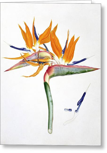 Strelitzia Reginae Flowers Greeting Card by Natural History Museum, London