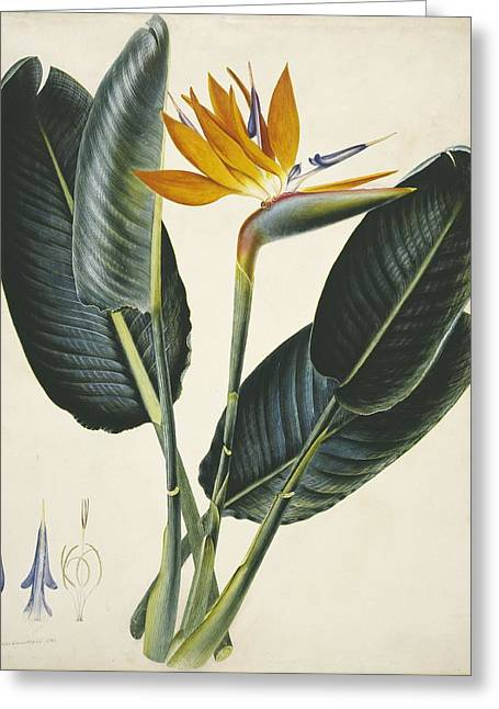 Strelitzia Sp. Flower, Artwork Greeting Card by Science Photo Library