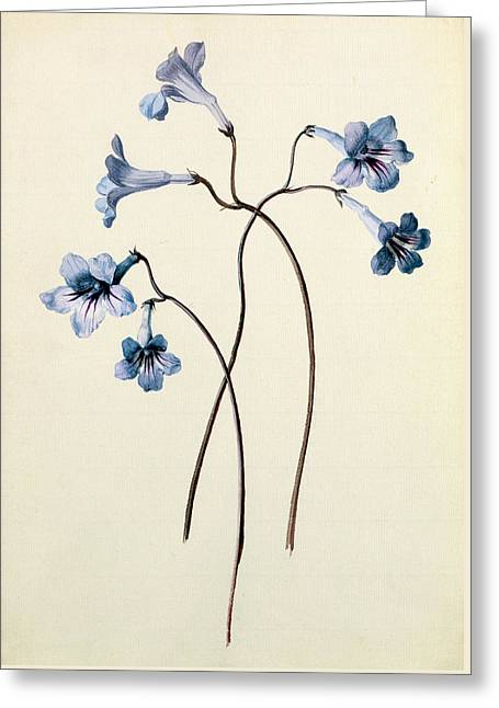 Streptocarpus Greeting Card by German School