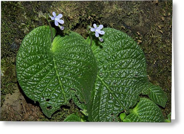 Streptocarpus Polyanthus Dracomontanus Greeting Card by Bob Gibbons
