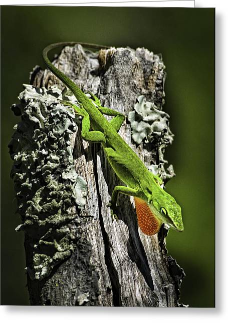 Stressed Anole Greeting Card