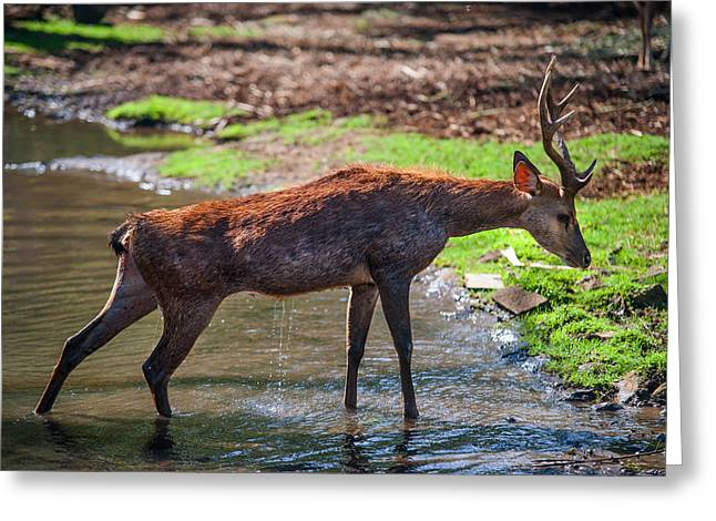 Stretching After Bathing. Male Deer In The Pampelmousse Botanical Garden. Mauritius Greeting Card