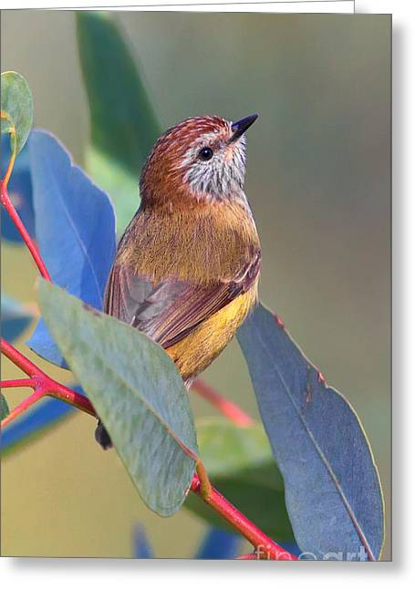 Striated Thornbill Greeting Card by Bill  Robinson