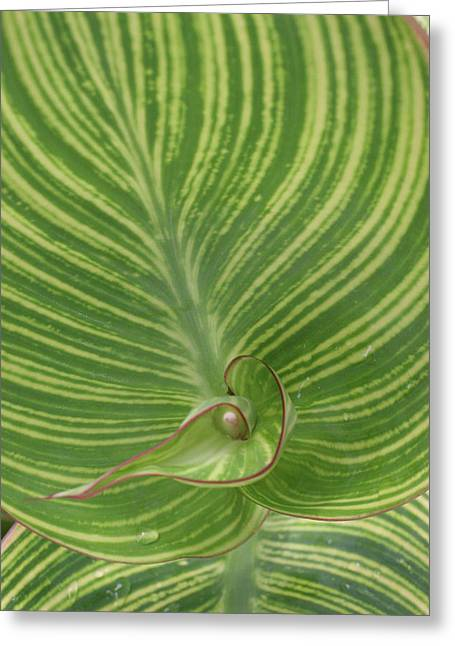 Striped Canna Leaf Abstract Greeting Card by Anna Miller