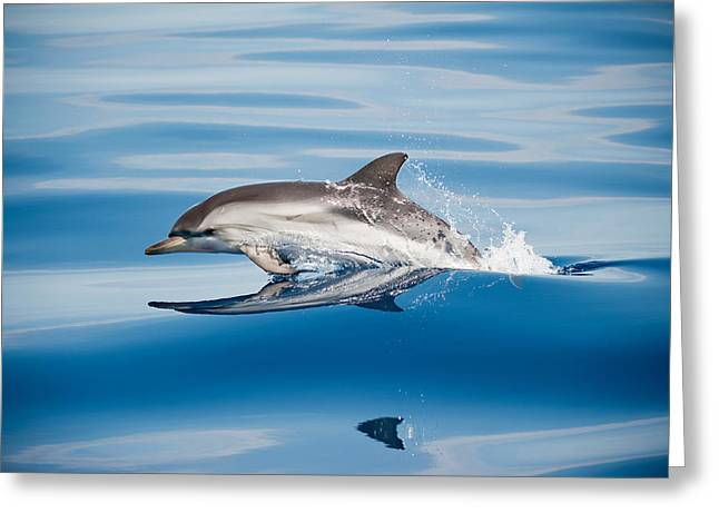 Striped Dolphin Greeting Card
