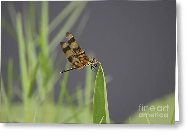 Striped Dragon Fly Greeting Card by Cheryl Aguiar