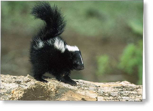 Striped Skunk Kit With Tail Raised Greeting Card