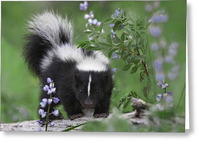 Striped Skunk Kit Greeting Card