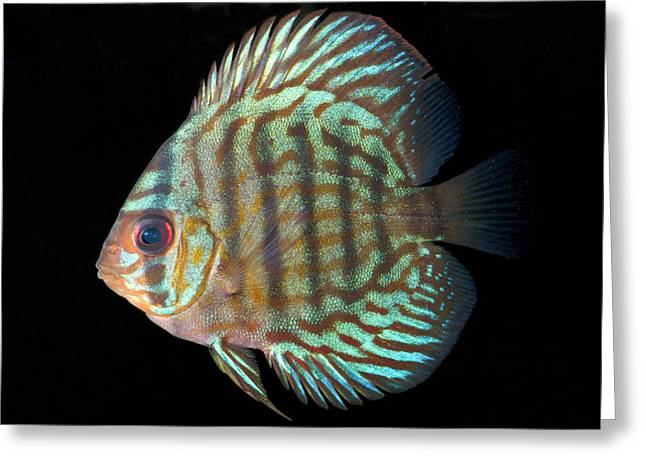 Striped Turquoise Discus Greeting Card by Nigel Downer