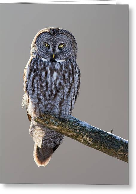 Strix Nebulosa Greeting Card by Mircea Costina Photography