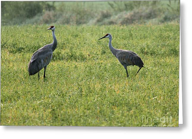 Greeting Card featuring the photograph Strolling Cranes by Debbie Hart