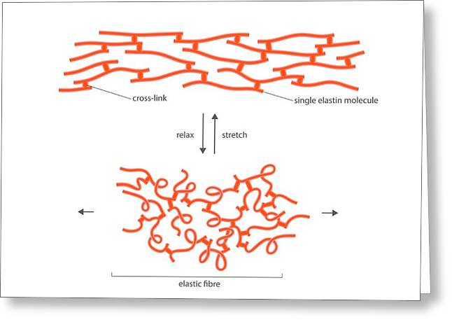 Structure Of Elastin Greeting Card by Science Photo Library