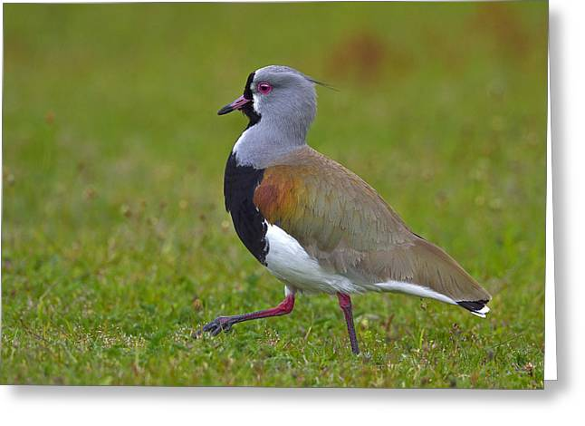 Strutting Lapwing Greeting Card