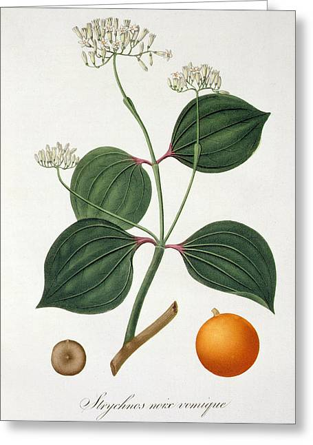 Strychnos Nux Vomica From 'phytographie Medicale' By Joseph Roques  Greeting Card by L F J Hoquart