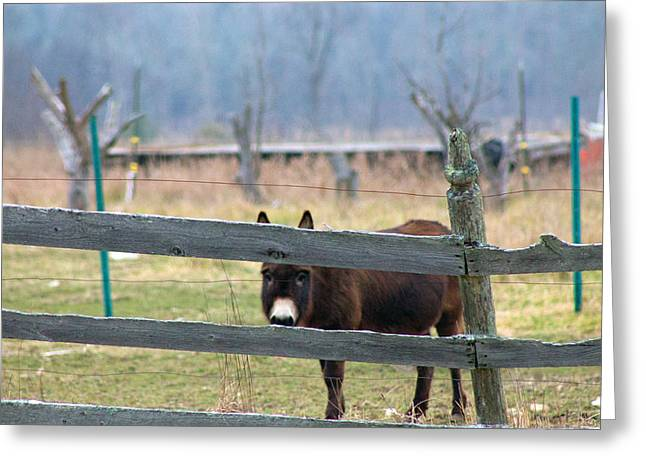 Stubborn As A Mule Greeting Card by Rhonda Humphreys