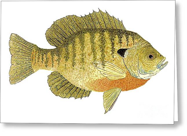 Greeting Card featuring the painting Study Of A Bluegill Sunfish by Thom Glace