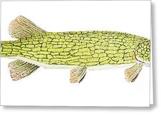 Greeting Card featuring the painting Study Of A Chain Pickerel by Thom Glace
