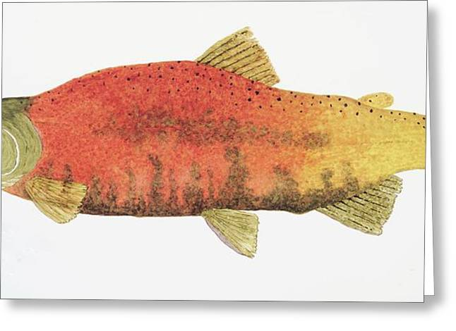 Study Of A Male Kokanee Salmon In Spawning Brilliance Greeting Card