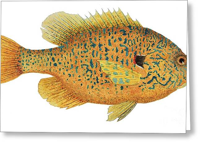 Greeting Card featuring the painting Study Of A Male Pumpkinseed Sunfish In Spawning Brilliance by Thom Glace