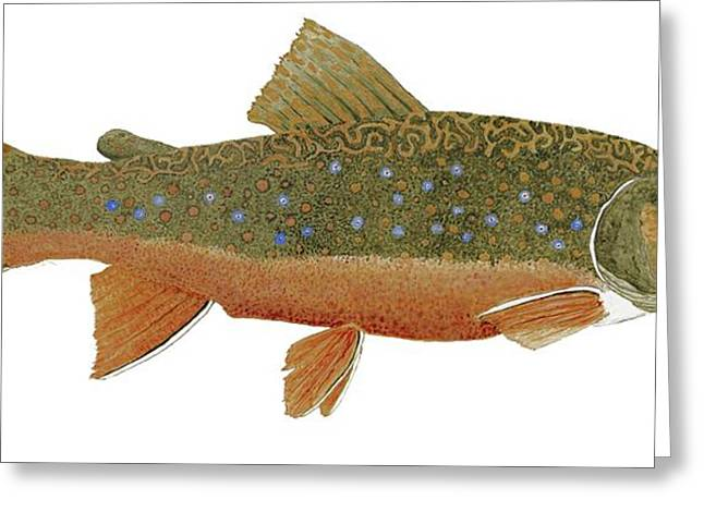 Greeting Card featuring the painting Study Of An Wild Eastern Brook Trout  by Thom Glace