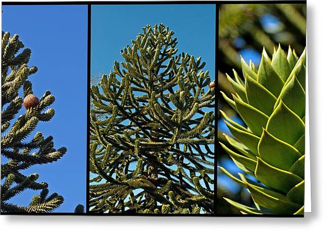 Study Of The Monkey Puzzle Tree Greeting Card