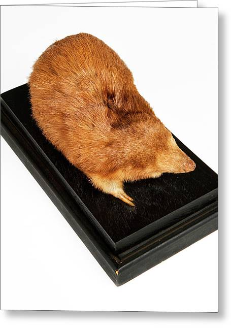 Stuffed Giant Golden Mole Greeting Card by Ucl, Grant Museum Of Zoology
