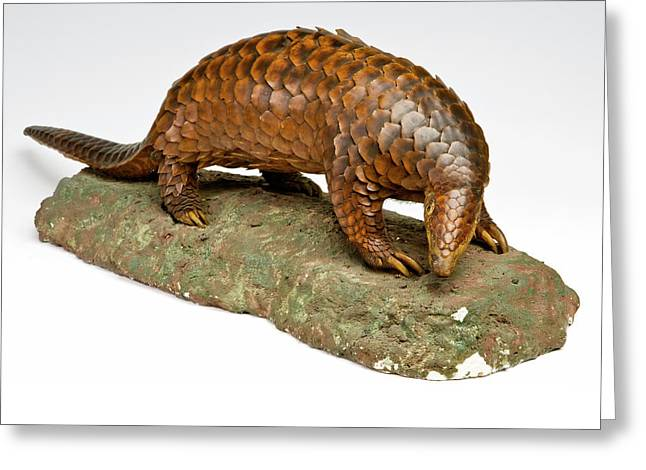 Stuffed Pangolin Greeting Card by Ucl, Grant Museum Of Zoology