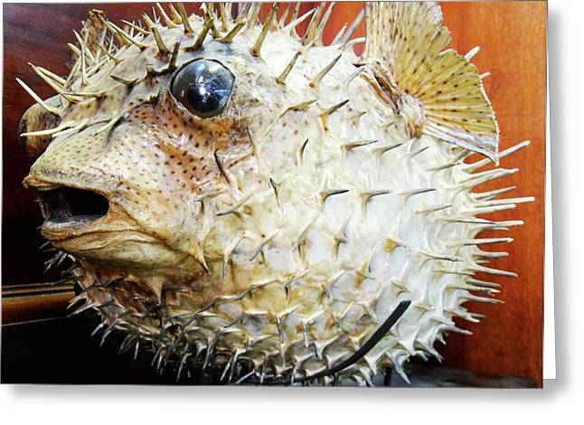 Stuffed Porcupinefish Greeting Card