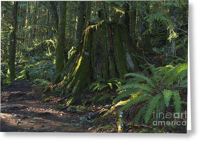 Stump And Fern Greeting Card by Sharon Talson