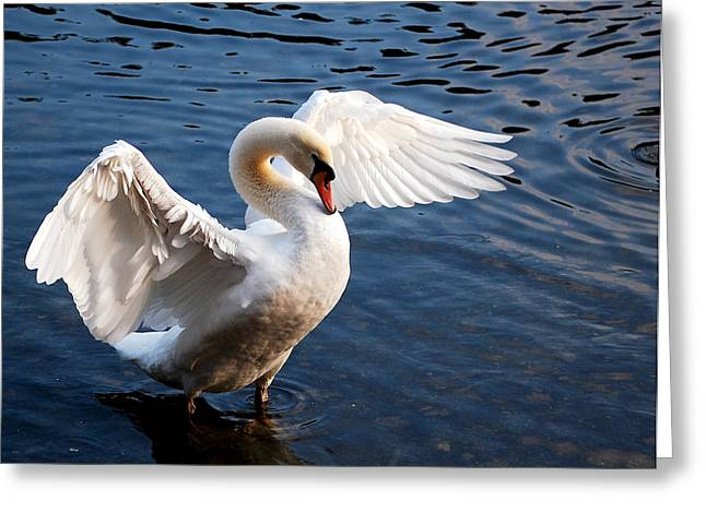 Stunning Swan Greeting Card