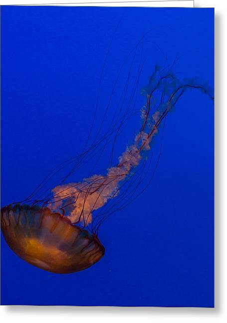 Subtle Pacific Sea Nettle Greeting Card by Scott Campbell